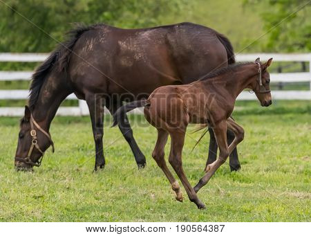 Foal Plays While Mare Eats in Grassy Field