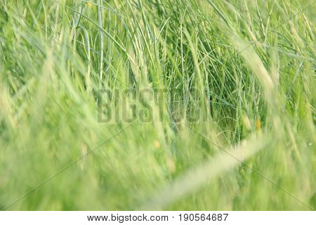 Long grass in the foreground of a summer meadow