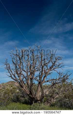 Gnarly Dried Tree In Mojave Desert