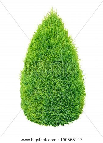 Lush green thuja conic shrub isolated on white