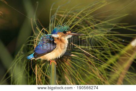 Juvenile Malachite Kingfisher (Alcedo cristata) Chobe River Botswana