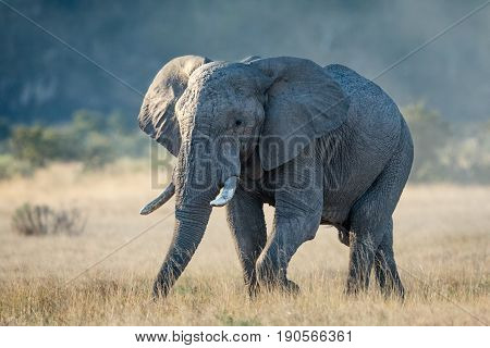 A bull Elephant in the Savuti area of the Chobe National Park in Botswana