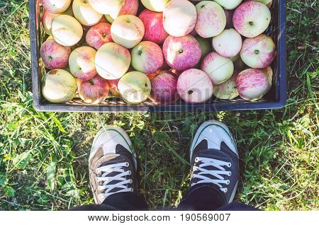Top view of plastic crate full of apples and feet in sneakers