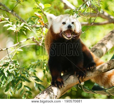 Trying to find some shade in the summer sun takes the Red Panda into the trees