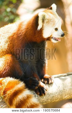 A captive Red Panda sits in his favorite tree