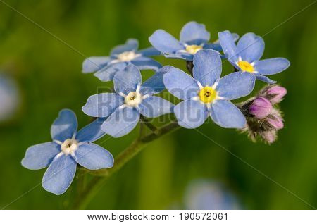 Flower forget-me-not closeup outdoors summer day blooms
