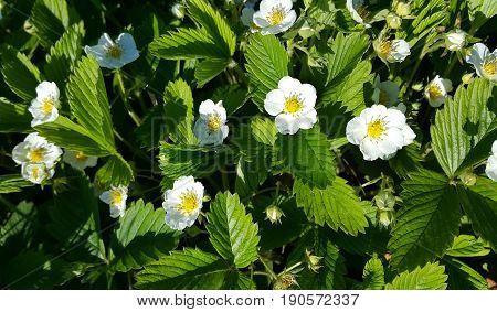 Beautiful Flowers of wild strawberry close up