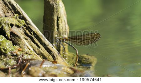 View on Dragonfly at Oviposition. Close-up of a Female Dragonfly at Breeding. Dragonflies (Odonata) at the Lake