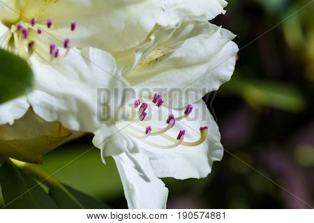 White Rhododendron Close Up