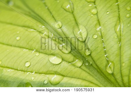 Close up of a hostas leaf with water on it