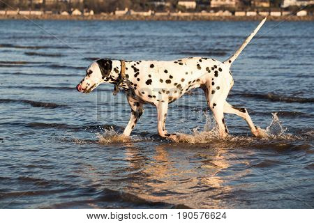 Dalmatian dog walking in the sea wearing a collar and has her tail held up high