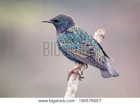 Starling Against A Natural Background