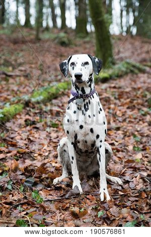Vertical Portrait Of A Dalmation Wearing A Collar