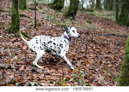 Dalmatian Wearing A Collar About To Run After A Toy