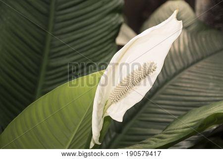 White peace lily green background - botanical name: Spathiphyllum