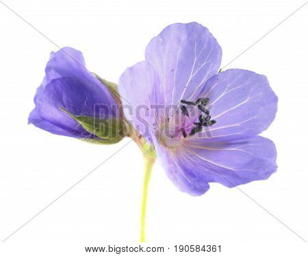 Blue flowers of Meadow geranium or meadow cranesbill (Geranium pratense) isolated on white background