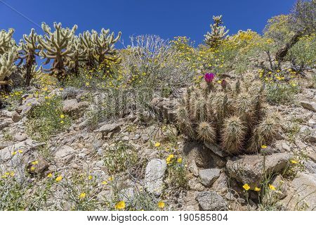 Hedgehog Cactus Blooming In Anza-borrego Desert State Park, California
