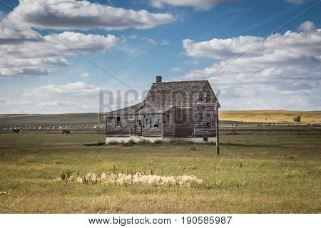horizontal image of a very quaint little abandoned wooden home sitting in the pasture with cows grazing under a beautiful blue sky with white clouds floating by.