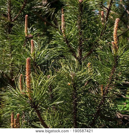 Young pine shoots blooming inspring time. Photographed with shallow depth of field.