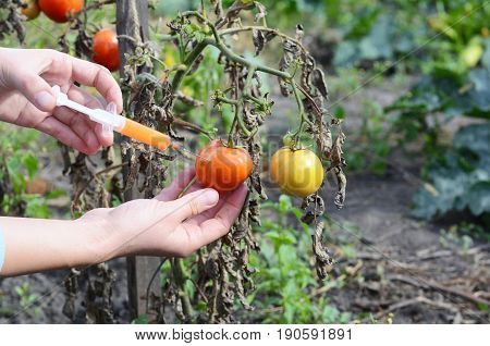 Scientist hands injecting syringe chemicals into red tomato GMO. Concept for chemical nitrates GMO or GM food. Genetically modified food advantages and disadvantages.