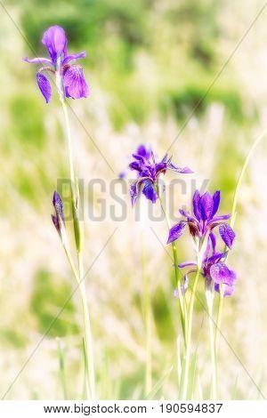 Iris Sibirica In The Meadow
