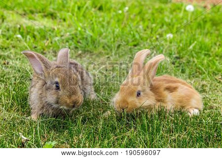 two young red and grey rabbits on grass