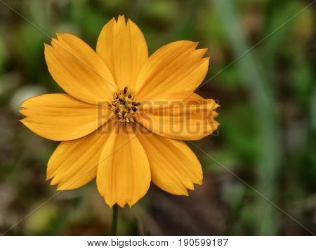 Yellow cosmos (cosmos sulphureus) flower with a blurred background
