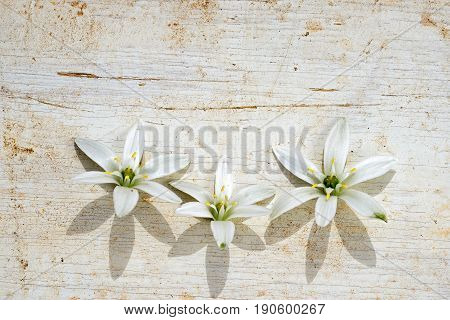 Three Star Of Bethlehem Flowers Frame At The Bottom Side Of The Wooden Background With Copy Space Fo