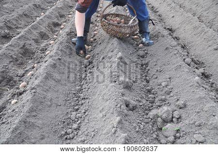 Farmer planting potatoes in springtime. Man planting potato field.