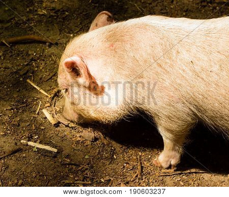 Big pink pig digging the ground a very cute and funny animal