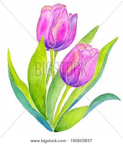 Three pink tulips with leaves isolated on white background, hand-painted watercolor illustration and paper texture