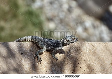 Agama Hardun lizard on the island of Rhodes