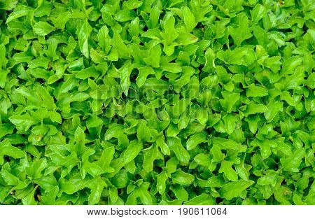 Green leaf background For use in applications requiring a small green leaf background.