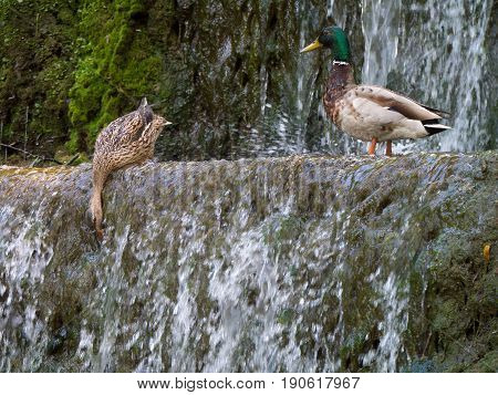 Male and female mallard ducks (Anas platyrhynchos) above a small waterfall extracting food