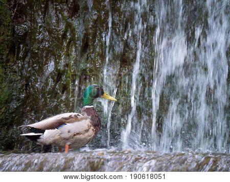 Male mallard duck (Anas platyrhynchos) above the waterfall
