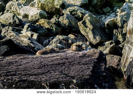 Colony of New Zealand fur seals lying on the rocks in Milford Sound Fiordland National Park South Island of New Zealand