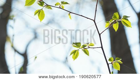 ulmus glabra elm leaves in spring day, wide photo
