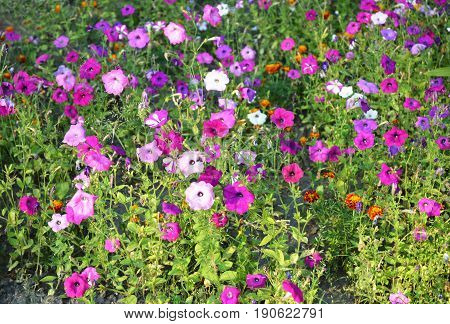 Colorful flowerbed of Petunia exserta flowers. Natural Petunia flowers Background.