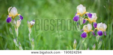Beautiful Nature background with Iris Flowers. Growing Flowers in the garden in the summer. Floral wallpaper with selective focus. Wide screen Web banner With Copy Space.