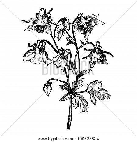 Graphic branch flower image photo free trial bigstock graphic the branch flower aquilegia names grannys bonnet or columbine coloring book mightylinksfo