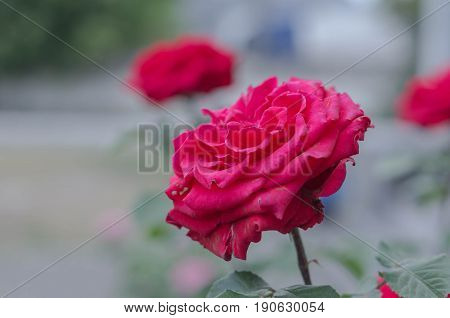 Red Rose. Lush rose. Burgundy rose. Rose on a background of roses.