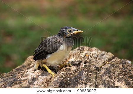 Little baby bird which has fallen out of the nest, Guatemala, Central America