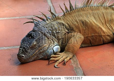 Green iguana, also known as Common Iguana or American Iguana, El Salvador, Central America