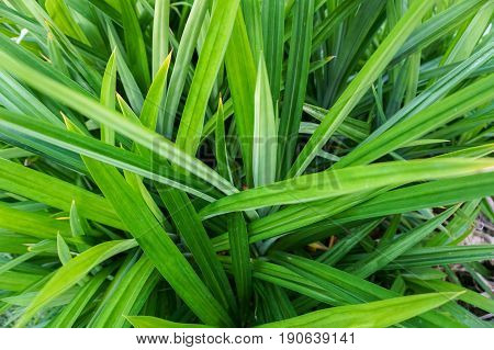 Pandan leaf texture with green background. Nature concept.
