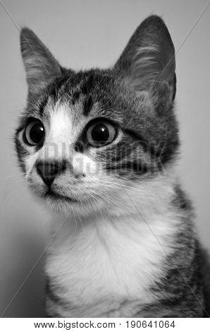 catportrait catmeow blackwhitecat housecat lookingcat catears catnose meow