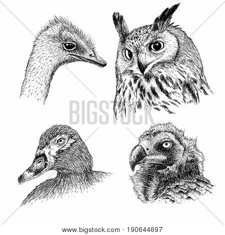 Collection of realistic heads of wild birds.Owl, ostrich, griffon and duck.Hand drawn vector illustration