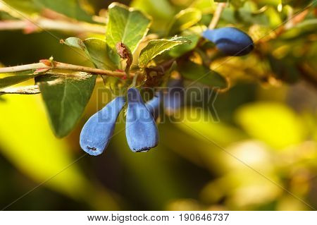 honeysuckle blue berries on branch. Summer background. Nature, agriculture and gardening concept. Honeysuckle bush. Photo with selective focus and copy space