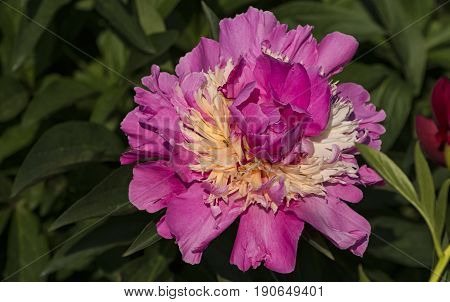 On a sunny spring day a small ant creeps in the petals of a peony flower which grows among the green foliage of a large bush.