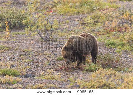 a grizzly bear eating berries in Denali National Park Alaska in early fall