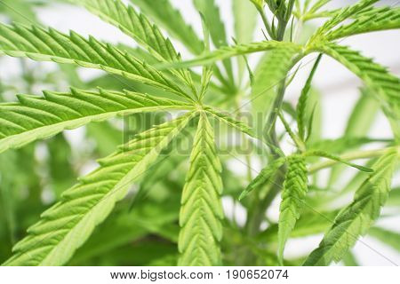 Cannabis Plant Close Up High Quality Stock Photo